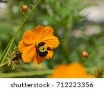 bumblebee feeding on an orange... | Shutterstock . vector #712223356