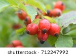 close up of dog rose berries.... | Shutterstock . vector #712247992
