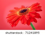 Red gerbera flower on red background - stock photo