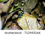 green dart poison frog costa...   Shutterstock . vector #712443166