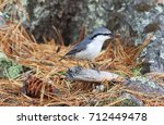 Sitta Europaea. Nuthatch Commo...