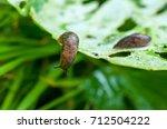 Reticulated Slug  Deroceras...