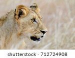 close lion in national park of... | Shutterstock . vector #712724908