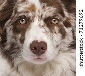 Close Up Of Red Merle Border...