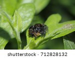 Small photo of Jumping spider , Salticidae in the nature