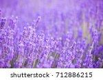 lavender bushes closeup on... | Shutterstock . vector #712886215