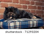 Persian Cat In Turtle Colors On ...