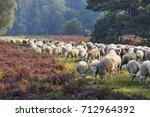 flock of sheep on the heath...   Shutterstock . vector #712964392
