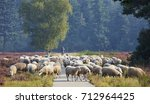 flock of sheep on the heath...   Shutterstock . vector #712964425