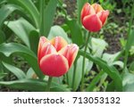 Beautiful Blossoming Red Tulip...