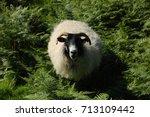 Small photo of Ram