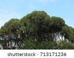elm crown early in autumn   Shutterstock . vector #713171236
