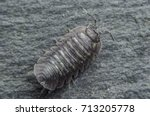 Small photo of Single woodlouse bug on slate background