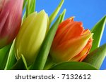 close-up of bunch of colourful tulips against blue background - stock photo