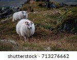icelandic sheep   Shutterstock . vector #713276662