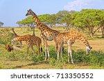 A Small Herd Of Giraffes...