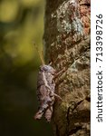 Small photo of Image of a Brown grasshopper (Acrididae) on natural background. Insect. Animal