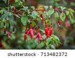 Beautiful Fresh Fuchsia Flower...