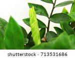 zamioculcas zamiifolia   green...   Shutterstock . vector #713531686