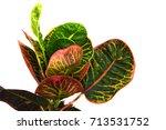codiaeum variegatum blume ...   Shutterstock . vector #713531752