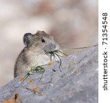 Small photo of American Pika on gray rocks