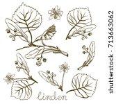 ink linden herbal illustration. ... | Shutterstock .eps vector #713663062