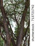 elm tree trunks in the park   Shutterstock . vector #713721742