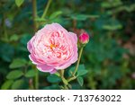 pink rose blossoming in the... | Shutterstock . vector #713763022