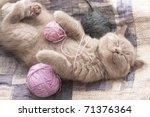Stock photo sleeping kitten rare color lilac 71376364