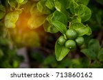 closeup of lime fruit hanging... | Shutterstock . vector #713860162