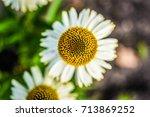 white swan coneflower blooming... | Shutterstock . vector #713869252