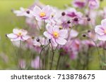 a flower of a chinese anemone ... | Shutterstock . vector #713878675