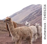 group of alpacas walking in the ... | Shutterstock . vector #714031216