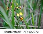 diuris pardina or leopard...   Shutterstock . vector #714127072