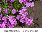 Small photo of Vinca Latin: vincire to bind, fetter. is a genus of flowering plants in the family Apocynaceae