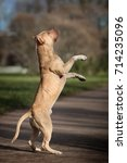 Small photo of Beautiful dog American Pit Bull Terrier standing on hind legs