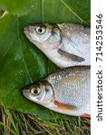 Small photo of Several just taken from the water freshwater common bream known as bronze bream or carp bream (Abramis brama) and white bream or silver fish known as blicca bjoerkna on natural background.