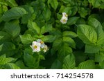 Flowering Potato Bush