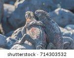 galapagos marine iguanas ... | Shutterstock . vector #714303532