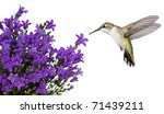 Hummingbird Hovers Of A Purple...