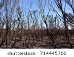 burnt trees  ash and scorched... | Shutterstock . vector #714445702