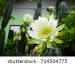 Beautiful White Cactus Flower.