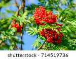 Rowan Berries  Sorbus Aucupari...
