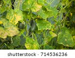 cucumber plant affected by... | Shutterstock . vector #714536236