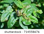 insect and flora   a bee is...   Shutterstock . vector #714558676