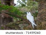 White Tern  Gygis Alba  On Egg...