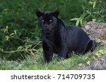 Black Jaguar Deep In A Forest...