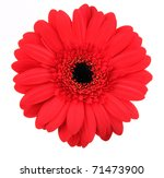 Red Gerber Blossom  Isolated O...