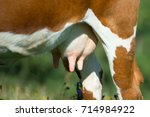 cow breasts before milking on... | Shutterstock . vector #714984922