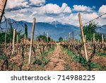 Endless Wineland On Summer In...